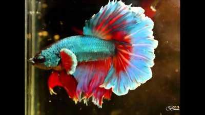 Cá đẹp đá an tiền ae có nhu cầu liên hệ với mình