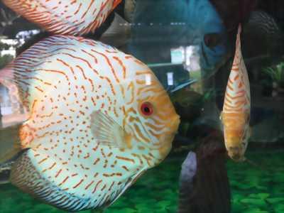 Cá Dĩa bồ câu, beo cúc size 10-15