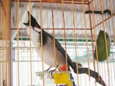 Chim chào mào tại Gia Lai