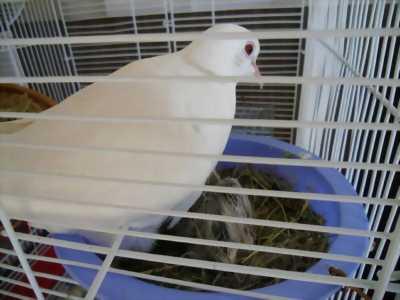 Chim cu trắng tại Gia Lai