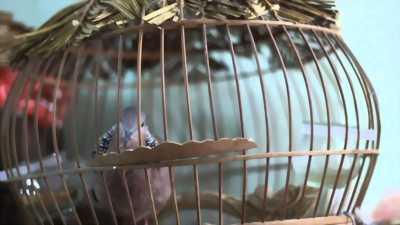 Chim cu khách tại Gia Lai