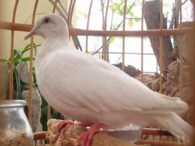 Chim cu gáy trắng tại Gia Lai