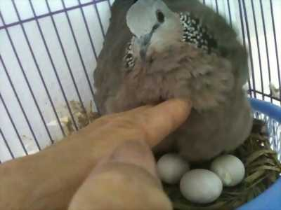 Chim cu non còn đang ấp tại Gia Lai