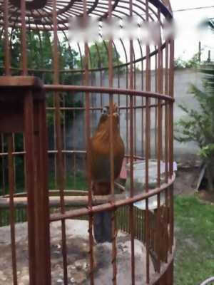 Bán con chim ô lờ mù 1 mắt múa hót điệu nghệ tại Gia Lai