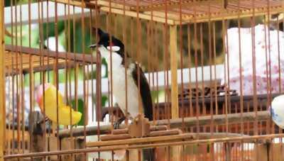Bán hoặc giao lưu chim tại Gia Lai