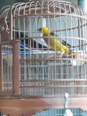 Chim sáo vàng thái