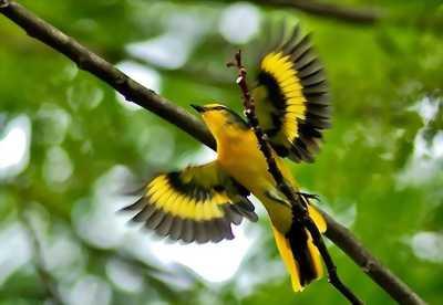 Bán chim vàng anh