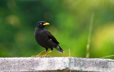 Bán chim sáo biết nói tiếng người