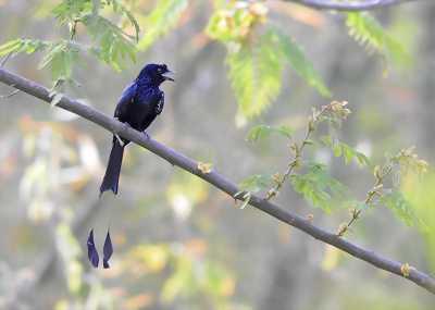 Chim chèo bẽo đuôi cờ