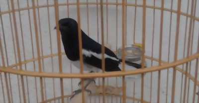 Chim chòe chuyên và bổi đẹp