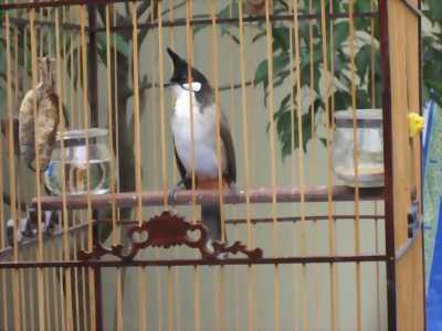 Chim quảng và lồng chim