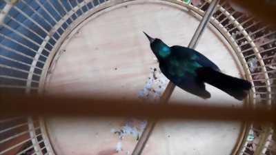 chim xanh tím