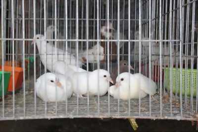 Bán 5 chim bồ câu