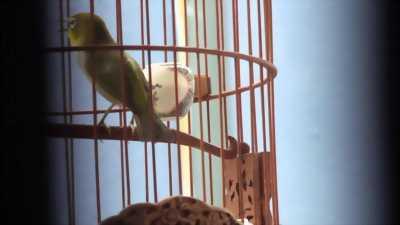 Bán chim Khuyên líu