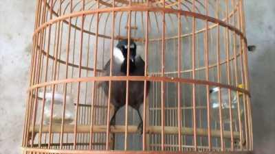 Khướu thuần siêng hót múa đuôi đè chim nên cần bán