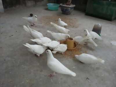 Chim cu pháp