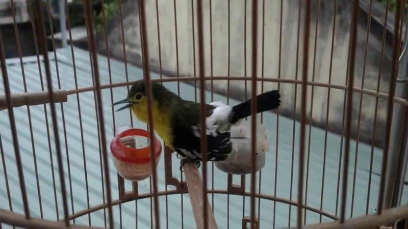 Cần mua một con chim huýt cô mồi