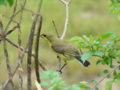 Chim hút mật thuần ăn cám nghe hót lại rai