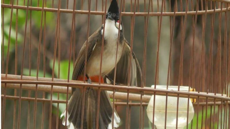 Bán bộ mi hót tốt chim và lòng