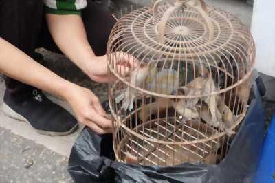 Chim cu xích chăn nuôi kiểng.