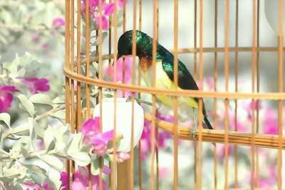 Chim xanh tím ăn cam