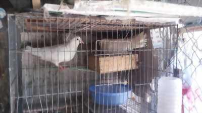 Thanh lý gấp 55 chim bồ câu và 15 chuồng sắt