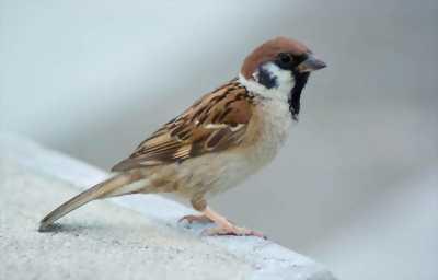 Chim sẻ phóng sinh