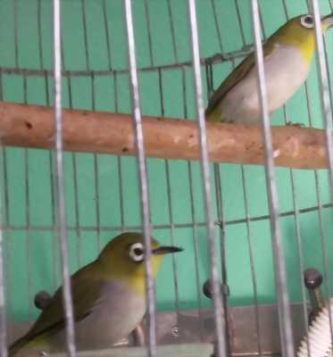 Chim vành khuyên hót