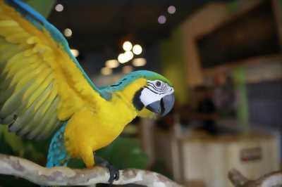 Chim Vẹt nói cooktai-mã lai