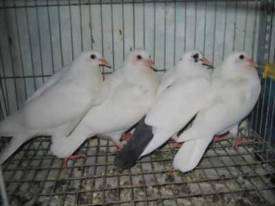 Chính chủ cần bán đàn chim bồ câu đang đẻ.