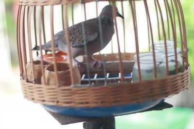Bán chim cu gáy