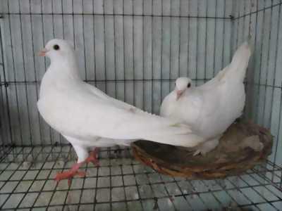 Chim bồ câu Gà mỹ + Pháp