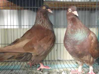 Bán chim câu giống tại Hà Nội