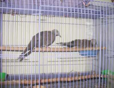 Bán chim cu gáy ta Bắc Bộ:giọng thổ,thổ đồng,sấm