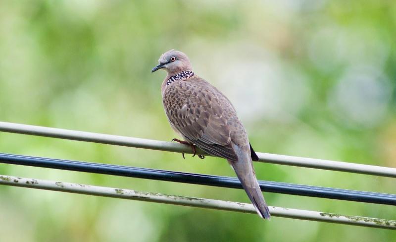 Bán chim cu gáy giọng thổ,đồng, sấm,sét, rền