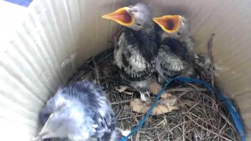 Chim cưỡng bồng con