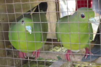 Cần bán chim cu xanh 01