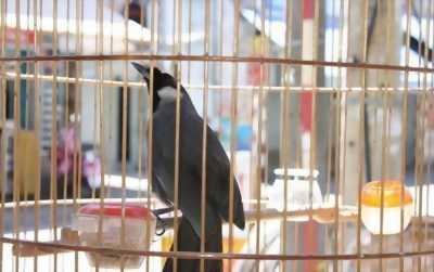 Bán chim khướu bạc má