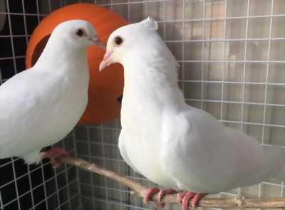 Cặp chim bồ câu pháp đầy đủ phụ kiện