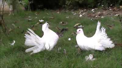 Bồ câu xòe khổng lồ có gl gà nồi lớn kí