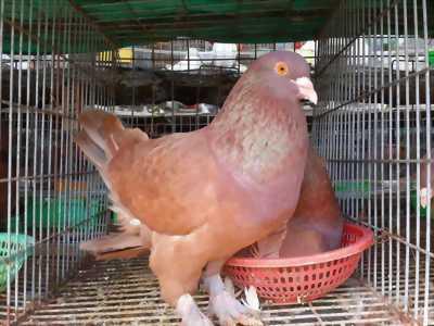 Bồ câu gà đẻ