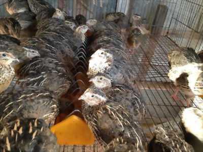 Thanh lý bầy cút kiểng 11 con