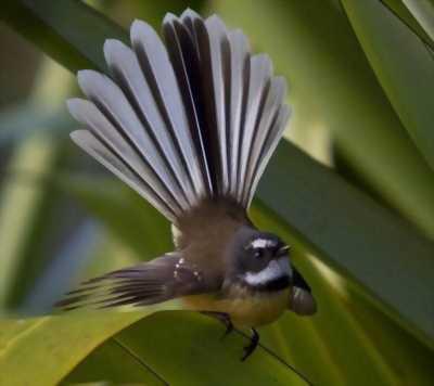 Chim rễ quạt