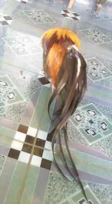 Gà tân châu ( bảo lộc)