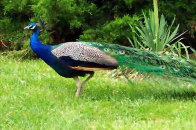 Cần bán chú chim công tuyệt đẹp nuôi làm cảnh