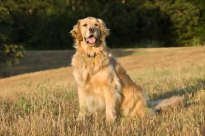 Bán chó golden