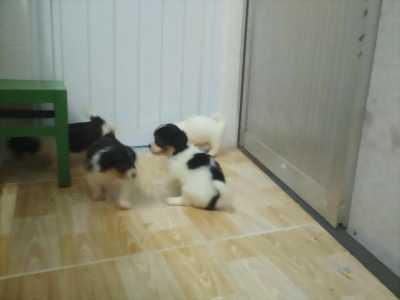Cần bán 4 em chó nhật còn nhỏ