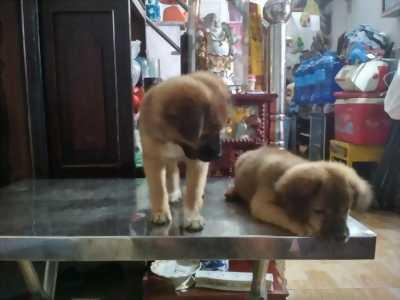 Bán 2 em chó Nhật còn nhỏ đã ăn được