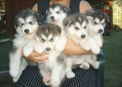 Cần mua chó alaska
