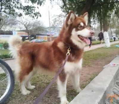 Chó Gấu lai alaska